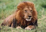 Animal sauvage : le lion